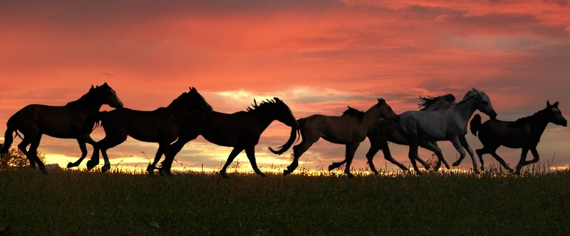 running in the sunset horses